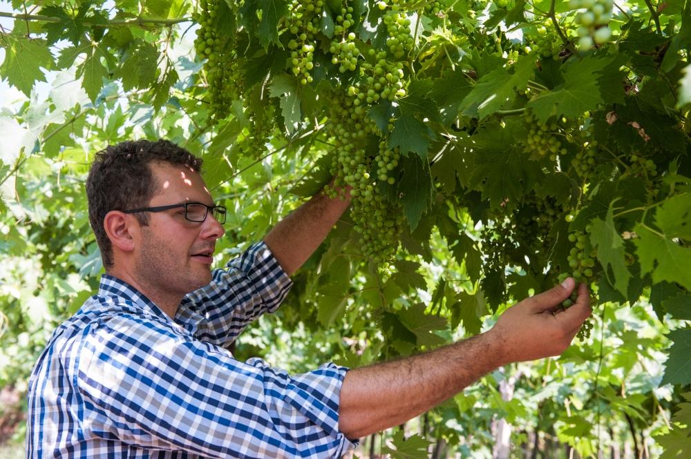grappolino uva a luglio